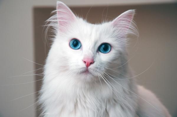 Télécharger cette photo , Retour à Photo chat Turc