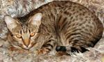 Photo chat Ocicat N°13740 chat provenant de Photo chat Ocicat