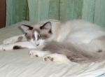 yoko chat de mauvechat1 provenant de Photo chat Snowshoe