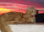 coucher de soleil chat provenant de Photo chat Persan