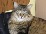 MITSOU chat provenant de Photo chat Maine Coon