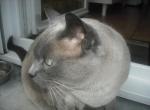 topaze chat provenant de Photo chat Tonkinois